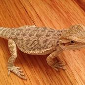 Animal Farming 101: Are central bearded dragons good pets?