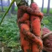 Checkout Carrot Picture That Look Like Human Being.