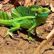 Check Out The Reason Why This Lizard Is Called The Jesus Christ Lizard
