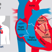 How The Circulatory System Works And The Functions.