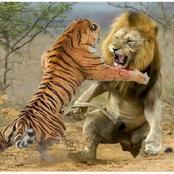 Why Lions Always Beat Up Tigers