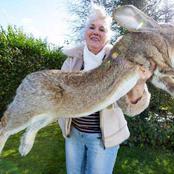 Insolite : Le plus gros lapin du monde a été volé, la police britannique dans la tourmente