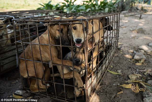 61 dogs saved from being turned into dog meat (photos)