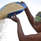 Riz: sénégalais et ivoiriens consomment entre 80 et 100 kg/an/habitant
