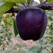 See the rare black apple that is also known as black diamond