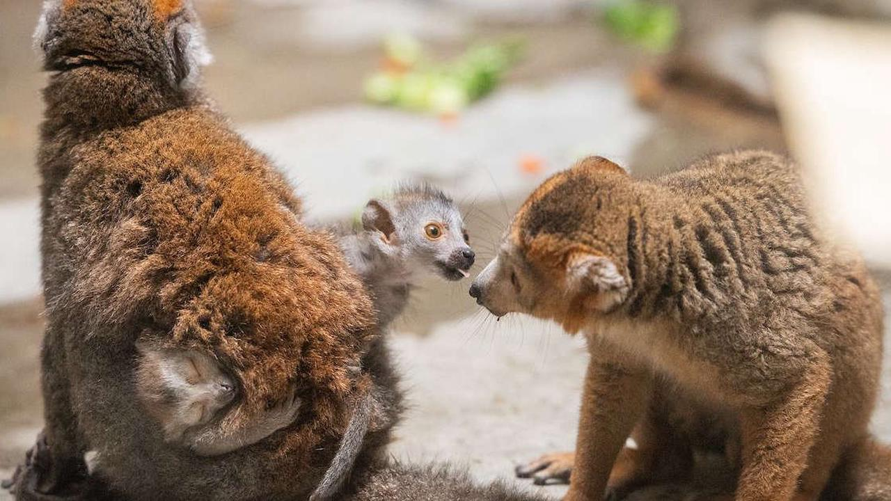 Cleveland Metroparks Zoo welcomes two baby lemurs: 'Twins!!!'