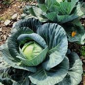 زراعة وإنتاج محصول الكرنب