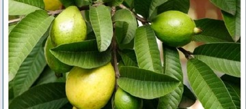 Benefit of guava leaves for fertility