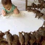 ديانة عبادة الفئران في ولاية راجستان الهندية! ديانة أغرب مما يتخيله العقل