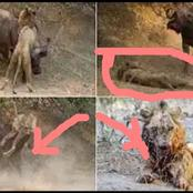 See How A Buffalo Disgraced The King Of The Jungle (Photos)