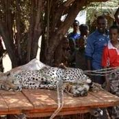 Reactions As 4 Men Chased 2 Cheetahs Until They Captured Them Thereafter Handing The Cheetahs To KWS