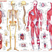 What You Need To Know About The Human Anatomy