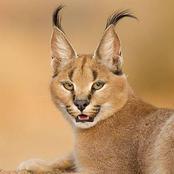 The caracal cat fun facts