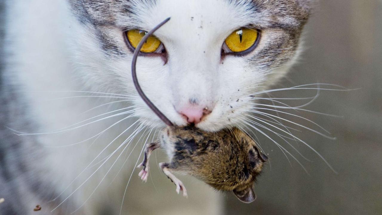 """Wenn die Katze """"Geschenke"""" mitbringt: Das steckt hinter Maus-Mitbringseln   Panorama"""