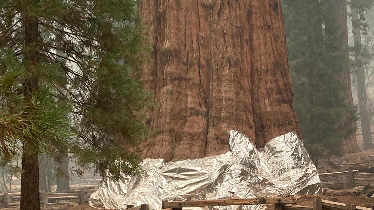 Waldbrände in Kalifornien – Grösster Baum der Welt in Gefahr