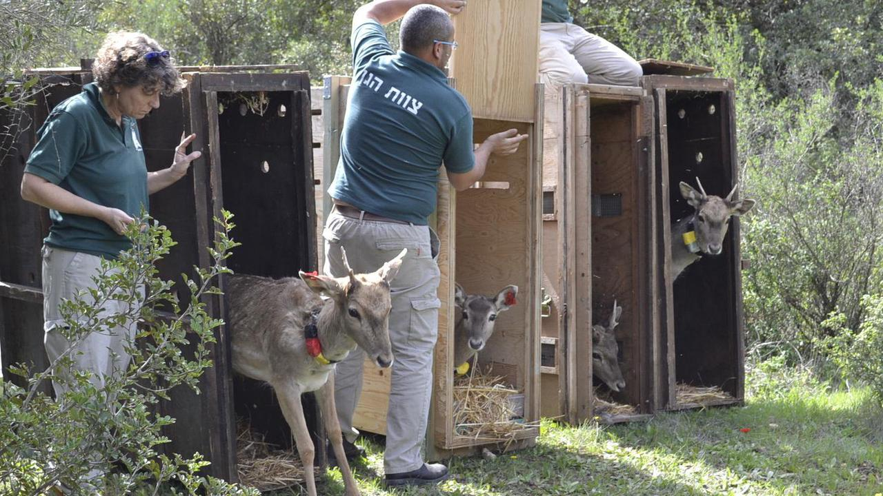 Artenschutz: Kronberger Hirsche als Zuchttiere in Israel