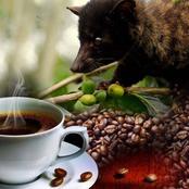 حقيقة وتفاصيل الحصول على أجود وأغلى أنواع القهوة في العالم من حيوان قط الزباد
