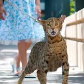 L'Ashera est le chat le plus cher du monde, il est vendu à plus de 15 millions de francs cfa!