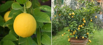 Simple Tips to Grow Unlimited Supply of Lemons in Your Own Home