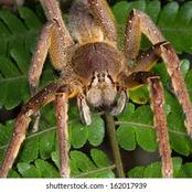 Just A Bite From This Spider Can Cause An Erection In A Man For One Hour.