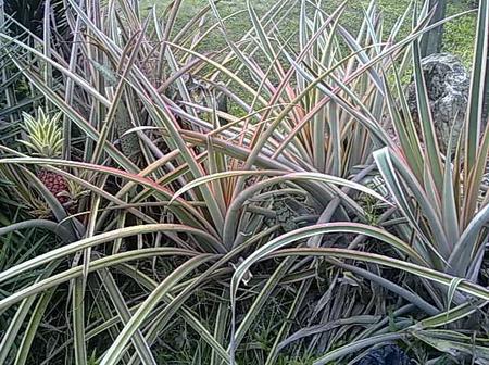 Health Benefits Of Pineapple Leaf