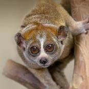 This cute slow loris has a toxic bite that can kill a human