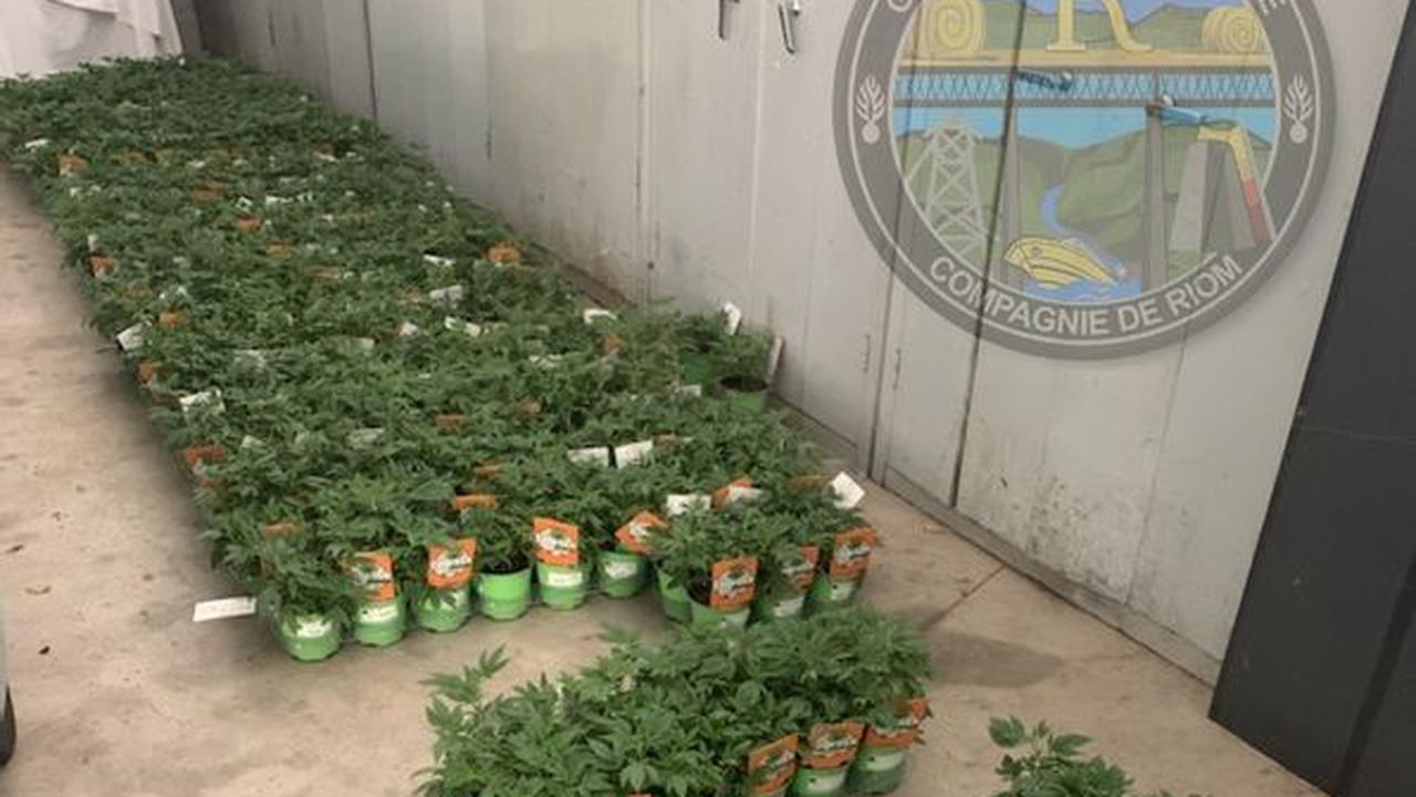 Faits divers - Des centaines de pieds de cannabis en vente dans des grandes surfaces et chez des fleuristes dans le Puy-de-Dôme