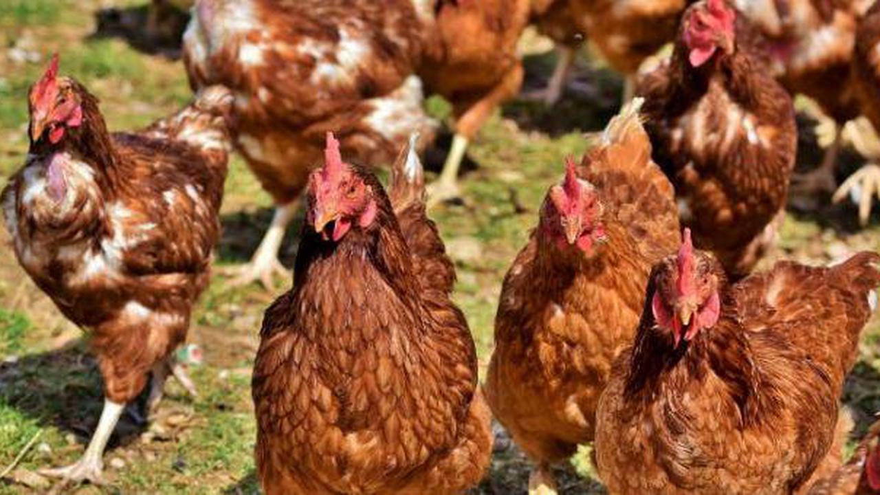 Indemnisation des éleveurs de volailles touchés par les vides sanitaires imposés