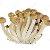 Use Beech Mushroom To Treat diabetes, cancer, Hypertension and Prevents bacteria completely.