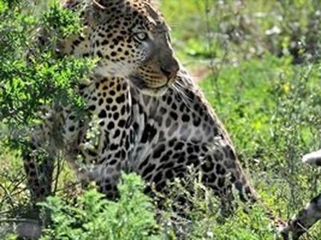 In eDumbe people did this to the Leopard. Check here
