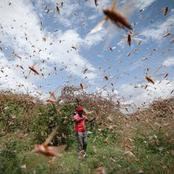 Locusts Are Back- Use These Tips And Prevent Your Crops From Destruction