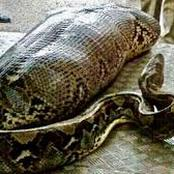 Snake swallows its owner after she denied feeding it, SEE pictures (fiction)