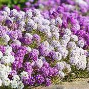 Garden Tips To Plant Alyssum Flowers