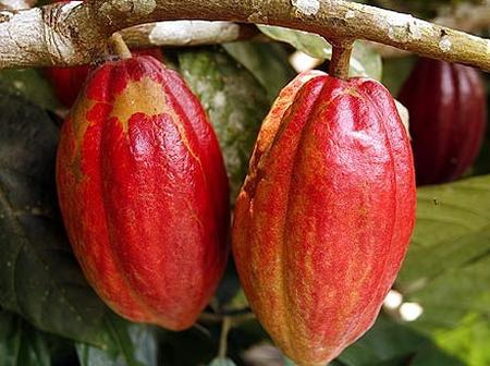 Higher International Charges important for cocoa sustainability – ICCO