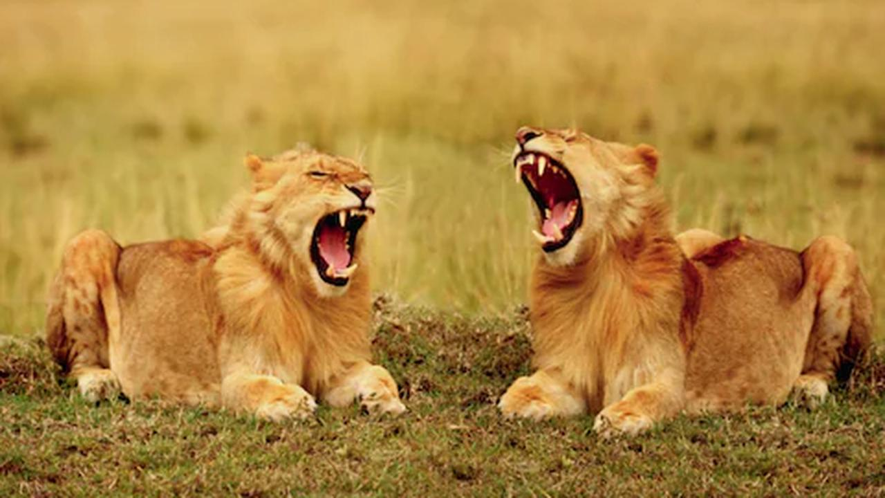 Contagious yawning used by wild lions to tell each other it's time to get moving, study finds