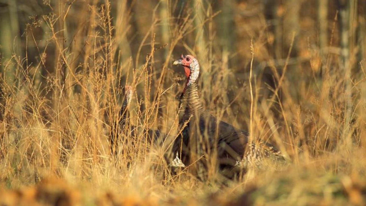 Sunday marks deadline to apply for Missouri managed turkey hunts this spring