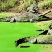CROCODILES ESCAPE FROM A FARM IN THE WESTERN CAPE: 6 still at large.  (Opinion)