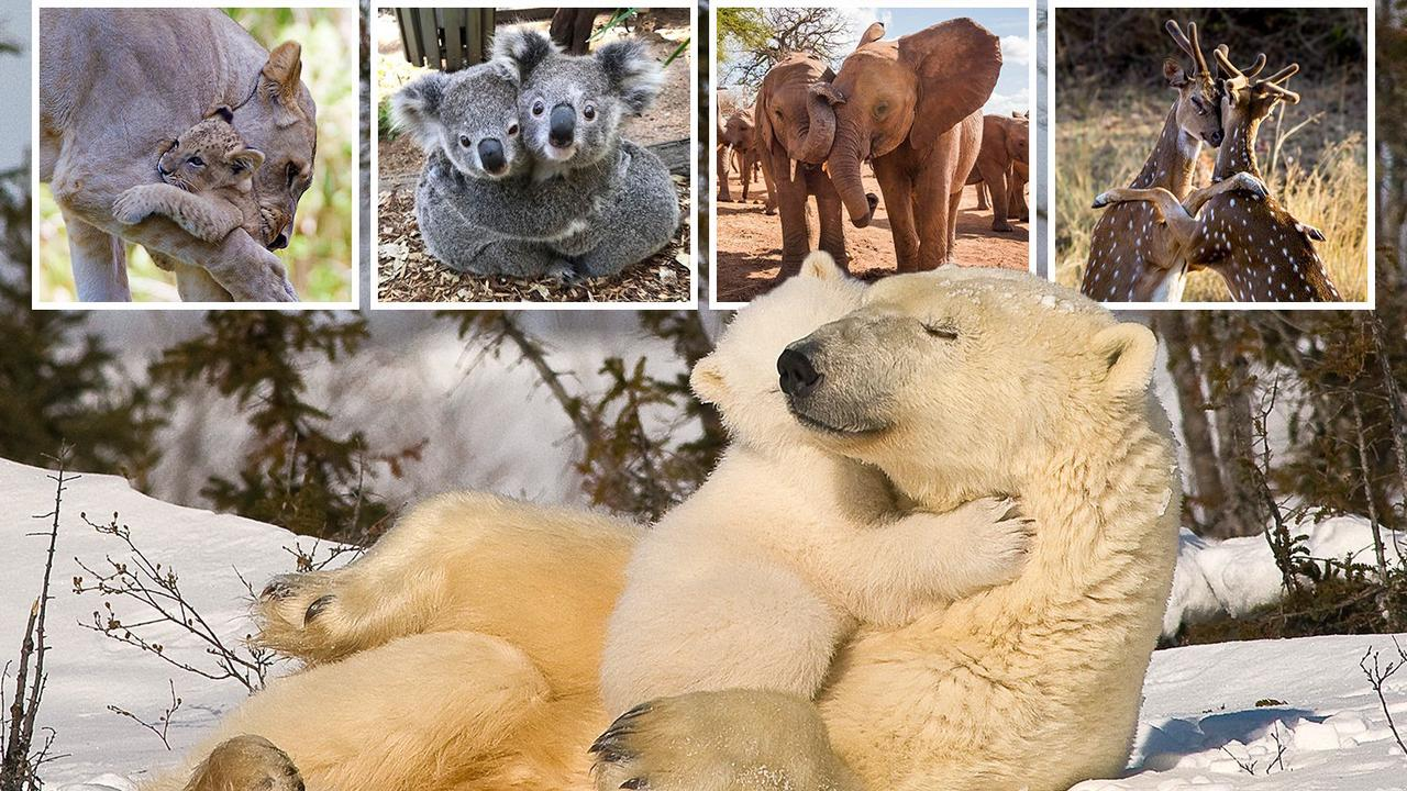 From snuggling polar bears to cosy koalas... animals are just like us