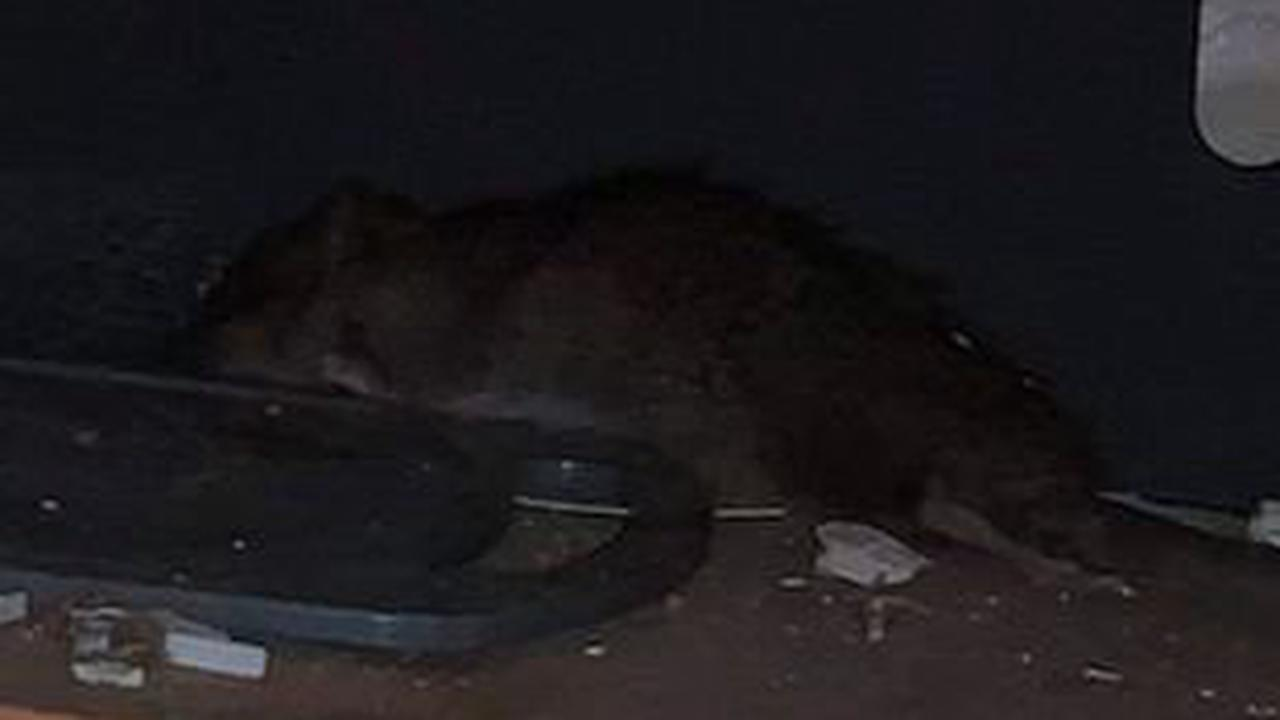 Girl, 11, has panic attack after finding huge rat under the oven in family home