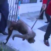 WATCH:Baboon found inside a sangoma's house!