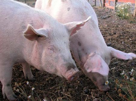 Pigs Are Not Dirty Animals, Check Out Strange Facts You Probably Never Knew About Pigs
