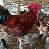 Poulet de chair ou poulet africain: voici ce que préfèrent les ivoiriens