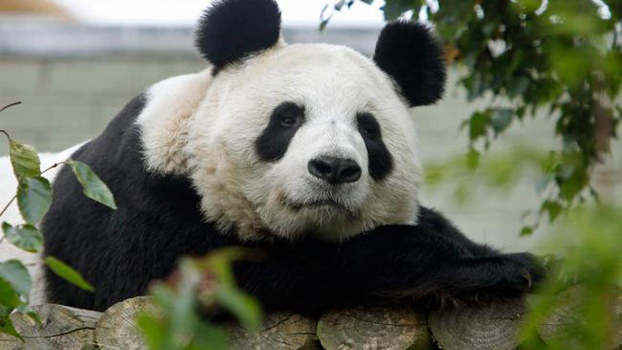 New cub hopes after sole UK female giant panda artificially inseminated