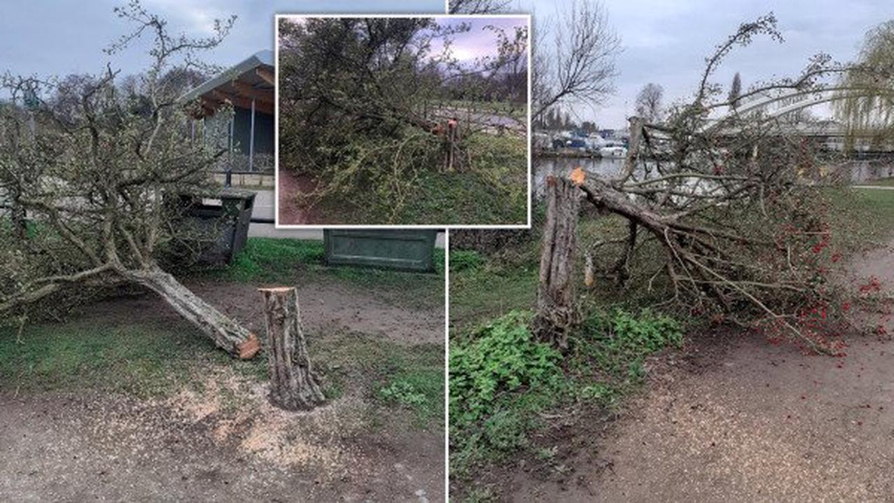 Mystery 'maniac' cuts down dozens of trees after dark in 'chainsaw massacre'