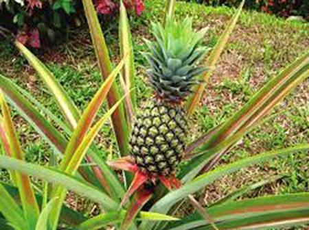 Soak Pineapple leaf in hot water for 2 days to treat these diseases