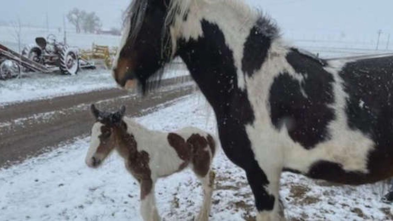 'She's Devastated': Mother Horse Visibly Depressed After 4-Day-Old Colt Stolen