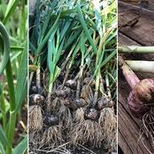 Garden Tips To Plant Garlic