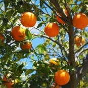 How To Start A Lucrative Orange Farming Business In Nigeria