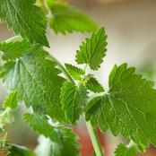 All You Need To Know To Grow And Care For Catnip Plant in Your Garden