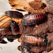 Checkout Simple Ways To Get Rid Of Cockroaches Naturally